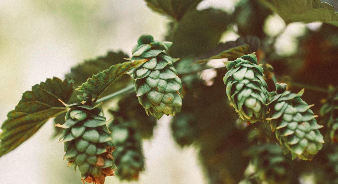 houblon bière, qu'est ce que le houblon